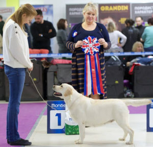 LEENORA BEST NICOLETTA IRIN ANGEL (Linjor Taio JW x CH LeeNora Best Europe Plus) - ex, CW Champion class, BEST YELLOW BITCH, LABRADOR CLUB CHAMPION, BIS YELLOW, & BEST IN SHOW!
