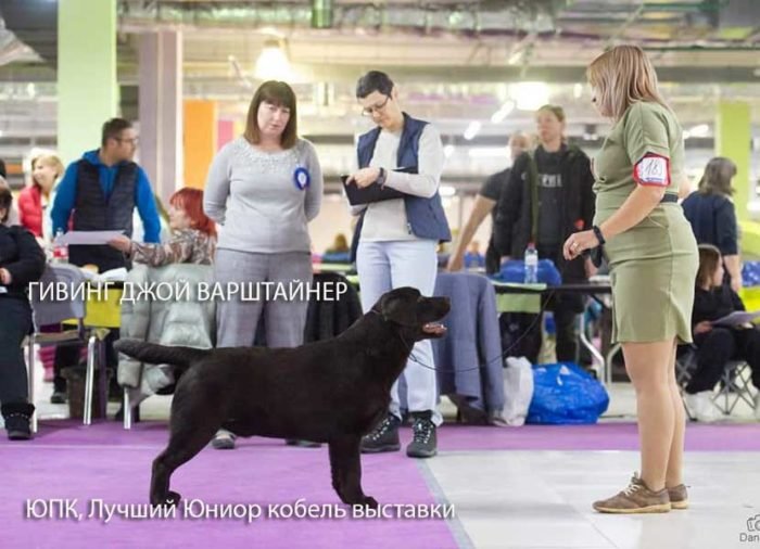 lutshyj-labrador-junior-vystavki