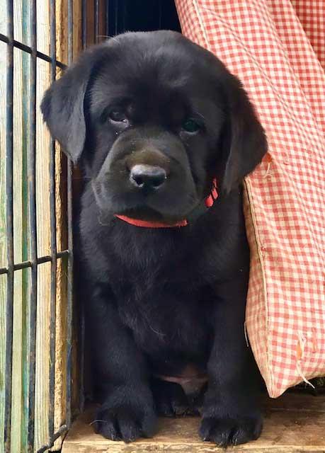 черный щенок лабрадор кобель