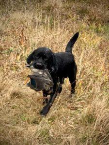черный лабрадор кобель на охоте