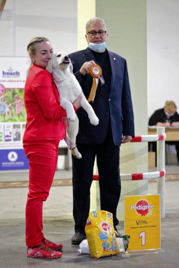 лучший лабрадор щенок